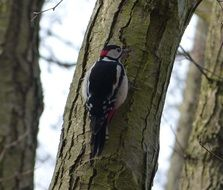 magnificent great spotted woodpecker