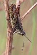 grasshopper on dry plant close up