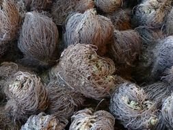 natural rose of jericho