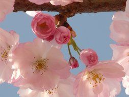 pink flowers with buds of Japanese cherry