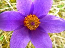 pasque flower among green grass