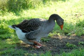 gray goose among green grass