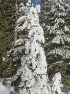 snow tree fir ice winter forest