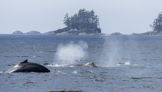 spraying humpback whale