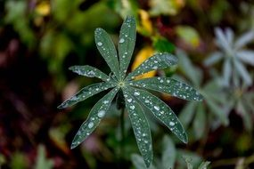 green leaf on lupine plant