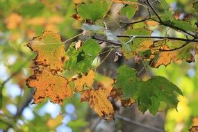 yellow maple leaves on a branch