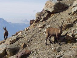 wild ibex in the mountains