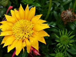 yellow flower with pointed petals in raindrops
