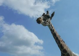 wild giraffe long neck