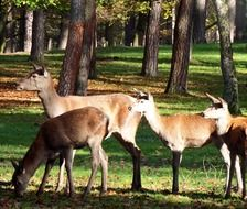 group of red deers between trees in autumn forest