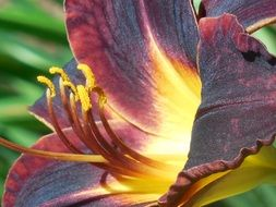 day lily flower close-up