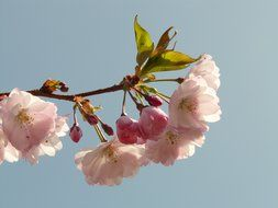 flowering cherry on a branch on a background of bright sky