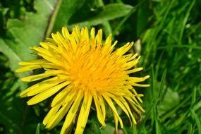 yellow dandelion among green grass