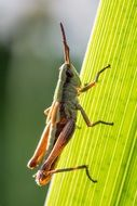 grasshopper on the green leaf