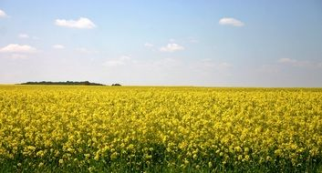 scenic oilseed rape field