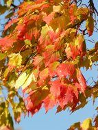 colorful autumn maple leaves against the blue sky