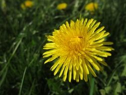 yellow dandelion among green grass close-up