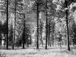 forest trees black and white recording