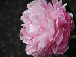side view of a lush peony flower