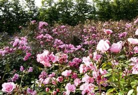 bright flowering wild rose bushes
