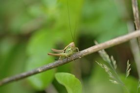stunning grasshopper green insect