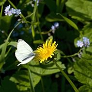 white butterfly on dandelion