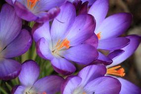 cute purple crocus flower
