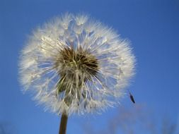 dandelion with seeds against the blue sky