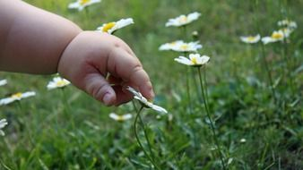 plump baby hand touches a daisy