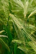Green wheat ary nature plant grain