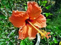 orange hibiscus close up