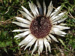 silver thistle bloom