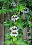 Passiflora, passionflowers, blooming plant