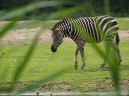 zebra in safari park
