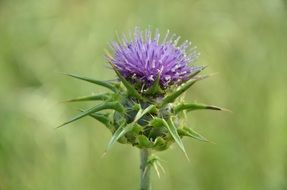 thistle flower, green blurred background