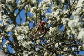 goldfinch perched on flowering tree