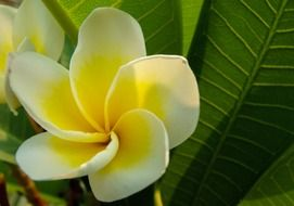 yellow-white plumeria amidst huge green leaves