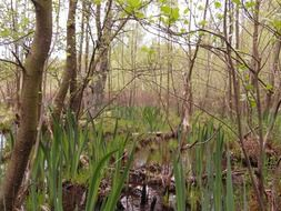 a swamp in the spring forest