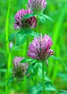 flowering clover Meadow