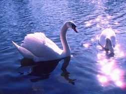 white swans on the lake in the evening