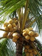 yellow cocoons on a palm tree