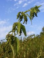ripe seeds of nettle on background cloudy sky