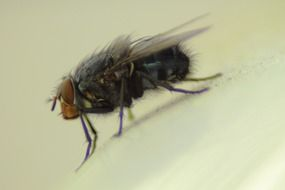 housefly insect