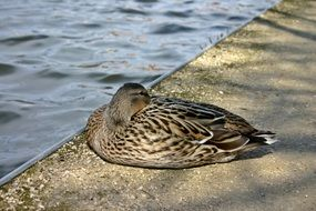 wild duck resting on the promenade