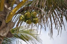 green coconuts on a palm tree