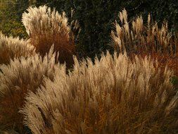 bushes of the miscanthus