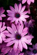 bouquet of purple daisies