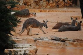 brown kangaroos in the zoo