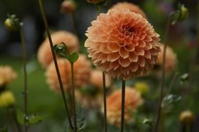 orange globose dahlia flower