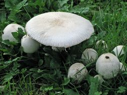 toadstools on green grass